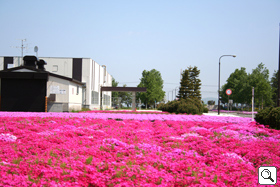 Premises covered with moss phlox in full bloom